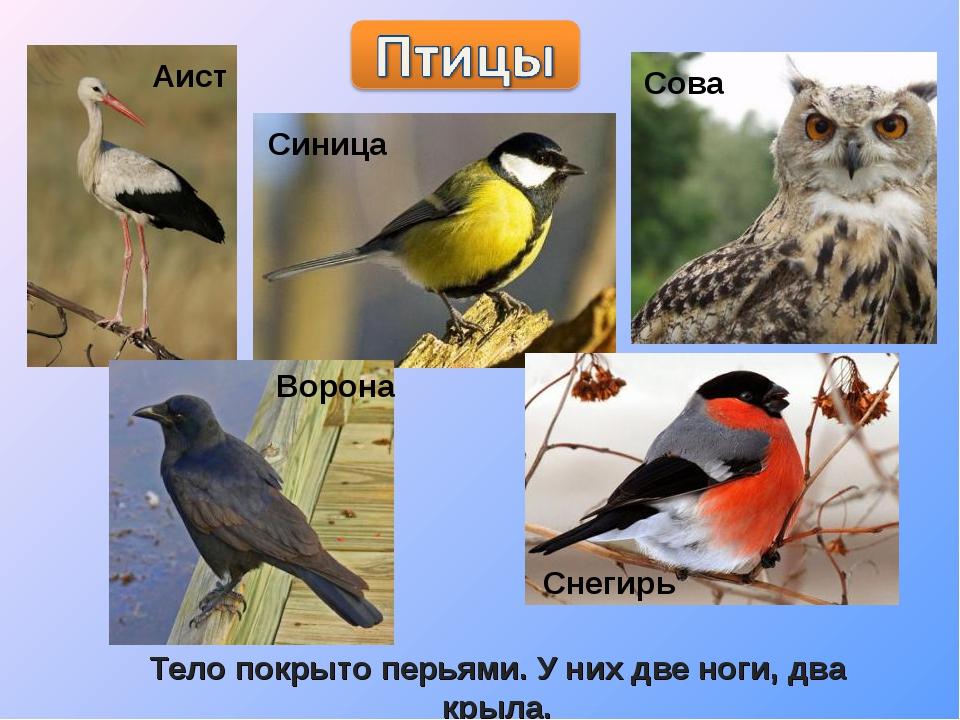 Тело покрыто перьями. У них две ноги, два крыла.
