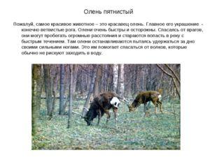 Олень пятнистый Пожалуй, самое красивое животное – это красавец олень. Главно