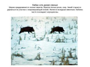 Кабан или дикая свинья Широко придерживается лесных оврагов, берегов лесных р