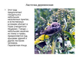 Ласточка деревенская Этот вид предпочитает гнездиться в небольших населенных