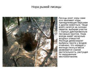 Нора рыжей лисицы Лисицы роют норы сами или занимают норы, принадлежащие барс