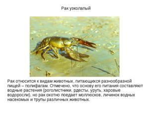 Рак узколапый Рак относится к видам животных, питающихся разнообразной пищей