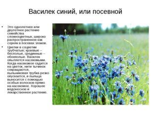 Василек синий, или посевной Это однолетнее или двулетнее растение семейства с