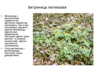 Ветреница лютиковая Ветреница– многолетнее травянистое растение семейства лю