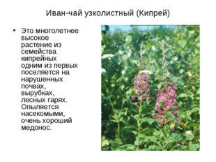 Иван-чай узколистный (Кипрей) Это многолетнее высокое растение из семейства к