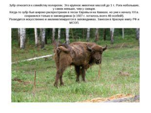 Зубр относится к семейству полорогих. Это крупное животное массой до 1 т. Рог