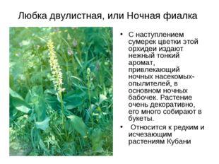 Любка двулистная, или Ночная фиалка С наступлением сумерек цветки этой орхиде