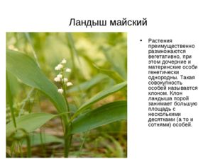 Ландыш майский Растения преимущественно размножаются вегетативно, при этом до