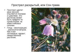 Прострел раскрытый, или Сон-трава Прострел цветет рано весной, опыляется пчел