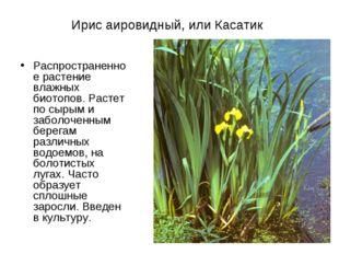 Ирис аировидный, или Касатик Распространенное растение влажных биотопов. Раст