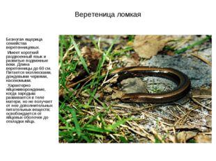Веретеница ломкая Безногая ящерица семейства веретенницевых. Имеет короткий р