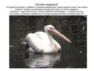 Пеликан кудрявый. В отряде Веслоногих к семейству Пеликанов принадлежат самые