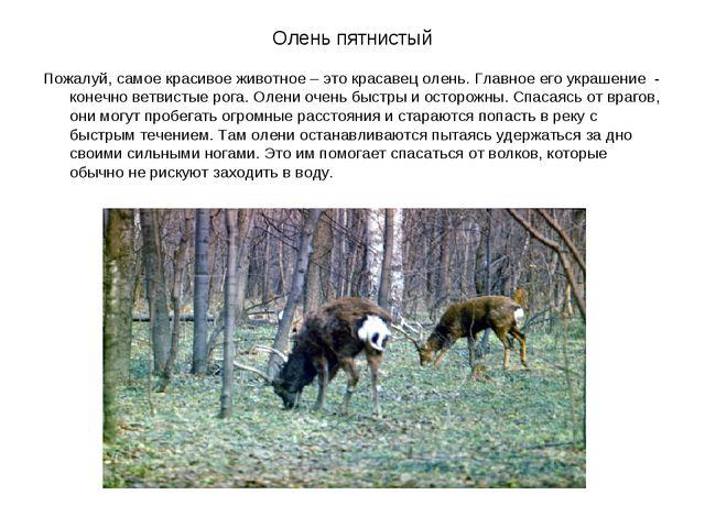 Олень пятнистый Пожалуй, самое красивое животное – это красавец олень. Главно...