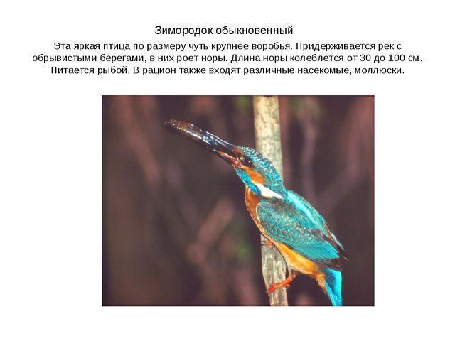 Зимородок обыкновенный Эта яркая птица по размеру чуть крупнее воробья. Приде...