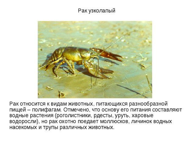 Рак узколапый Рак относится к видам животных, питающихся разнообразной пищей...