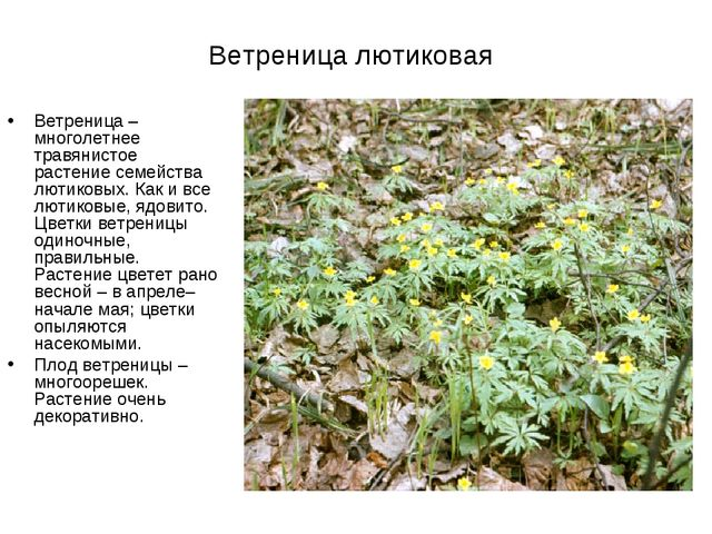 Ветреница лютиковая Ветреница– многолетнее травянистое растение семейства лю...