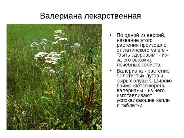 Валериана лекарственная По одной из версий, название этого растения произошло...