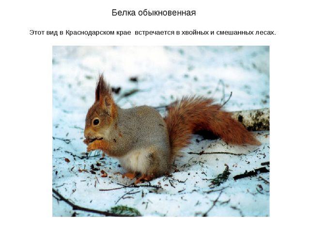 Белка обыкновенная Этот вид в Краснодарском крае встречается в хвойных и смеш...