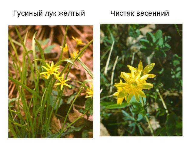 Гусиный лук желтый Чистяк весенний