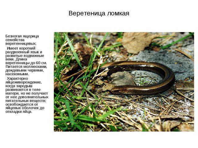 Веретеница ломкая Безногая ящерица семейства веретенницевых. Имеет короткий р...