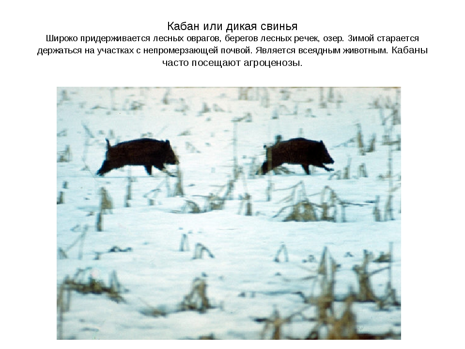 Кабан или дикая свинья Широко придерживается лесных оврагов, берегов лесных р...