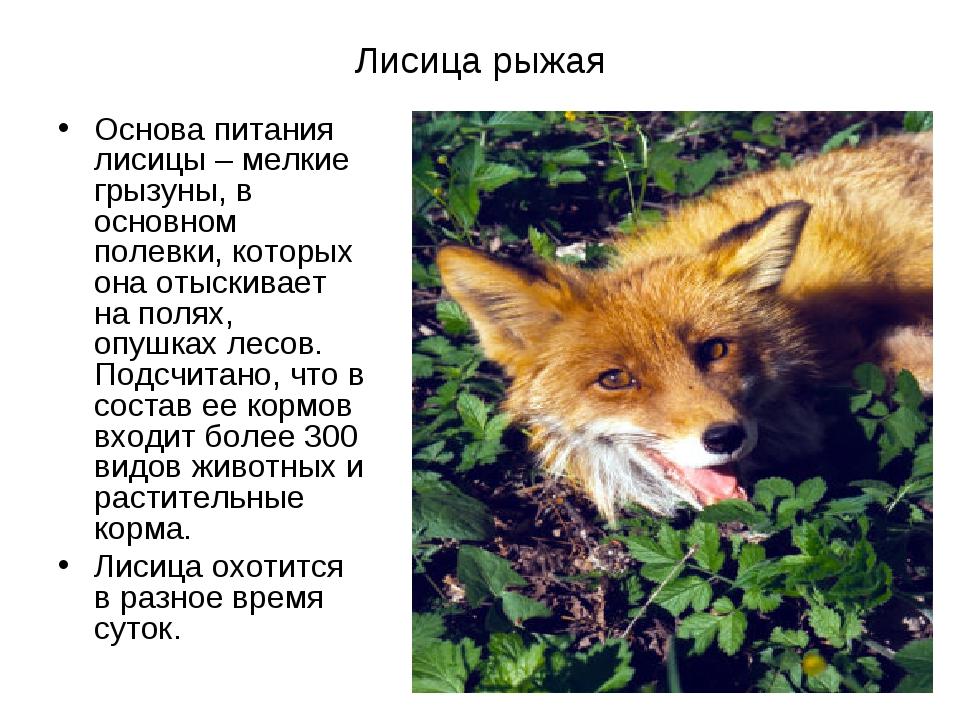 Лисица рыжая Основа питания лисицы– мелкие грызуны, в основном полевки, кото...