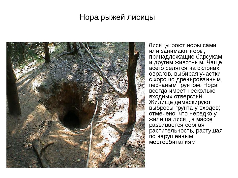 Нора рыжей лисицы Лисицы роют норы сами или занимают норы, принадлежащие барс...