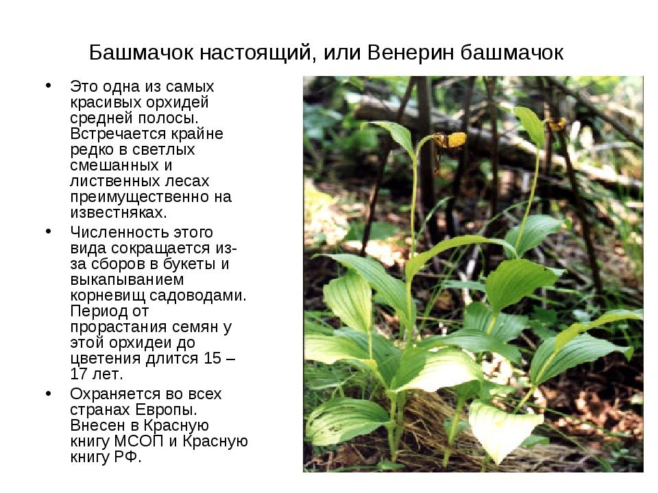 Башмачок настоящий, или Венерин башмачок Это одна из самых красивых орхидей с...