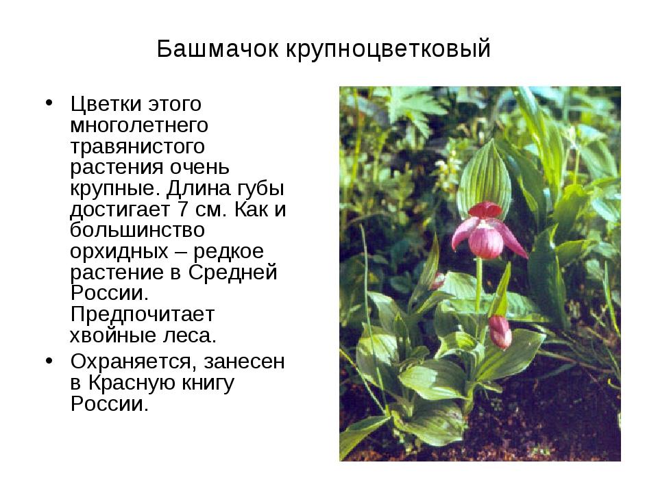 Башмачок крупноцветковый Цветки этого многолетнего травянистого растения очен...