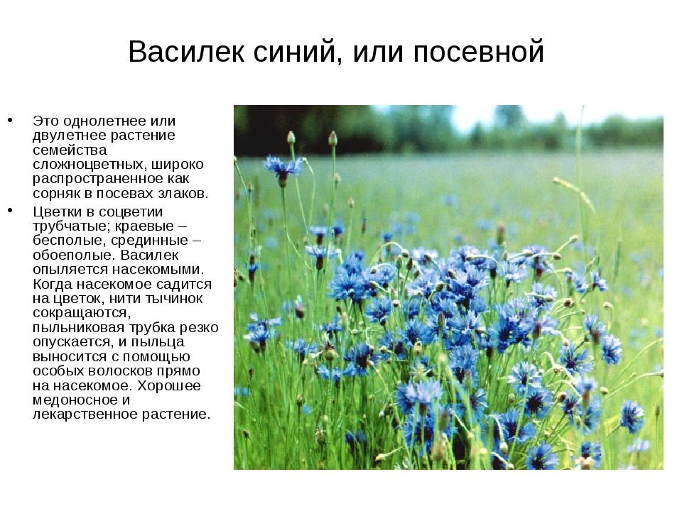 Василек синий, или посевной Это однолетнее или двулетнее растение семейства с...