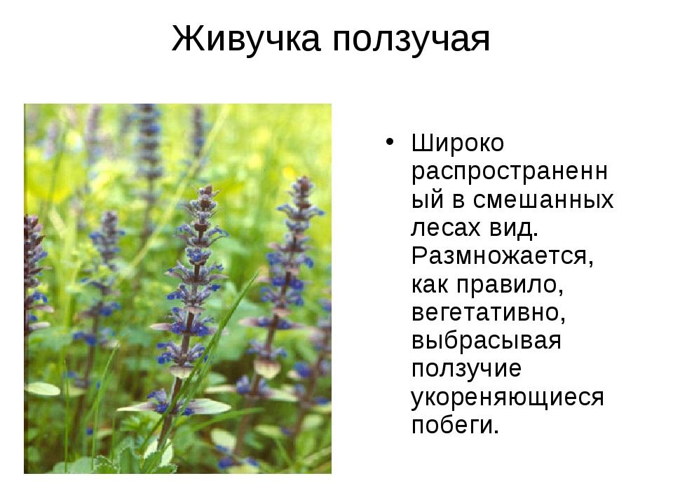 Живучка ползучая Широко распространенный в смешанных лесах вид. Размножается,...
