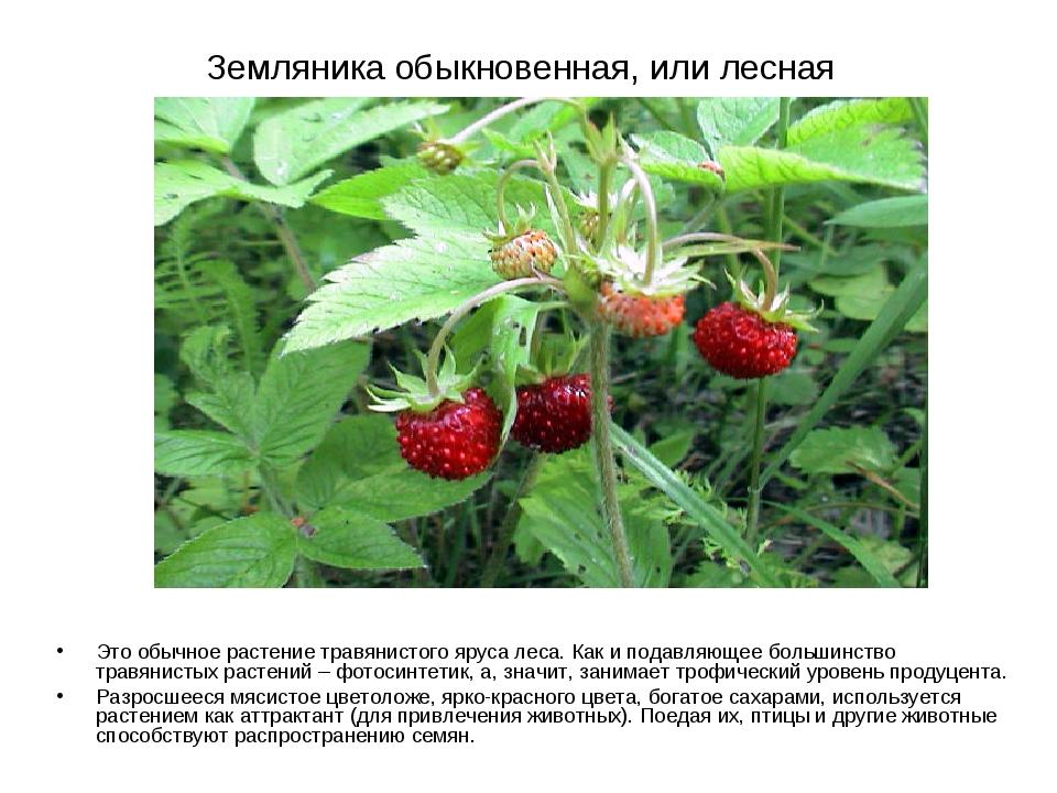 Земляника обыкновенная, или лесная Это обычное растение травянистого яруса ле...