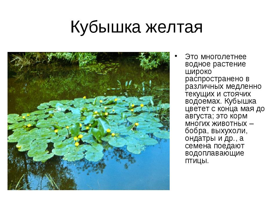 Кубышка желтая Это многолетнее водное растение широко распространено в различ...