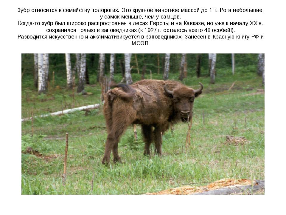 Зубр относится к семейству полорогих. Это крупное животное массой до 1 т. Рог...