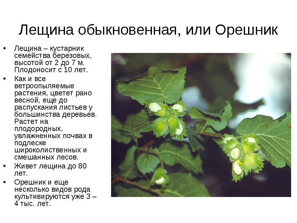 Лещина обыкновенная, или Орешник Лещина– кустарник семейства березовых, высо...