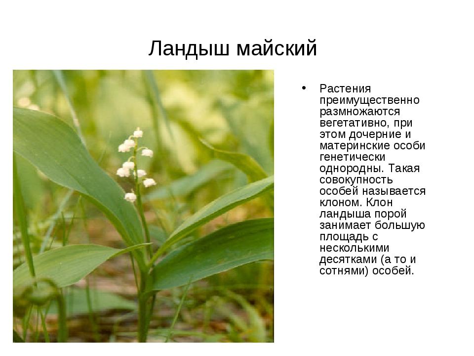 Ландыш майский Растения преимущественно размножаются вегетативно, при этом до...