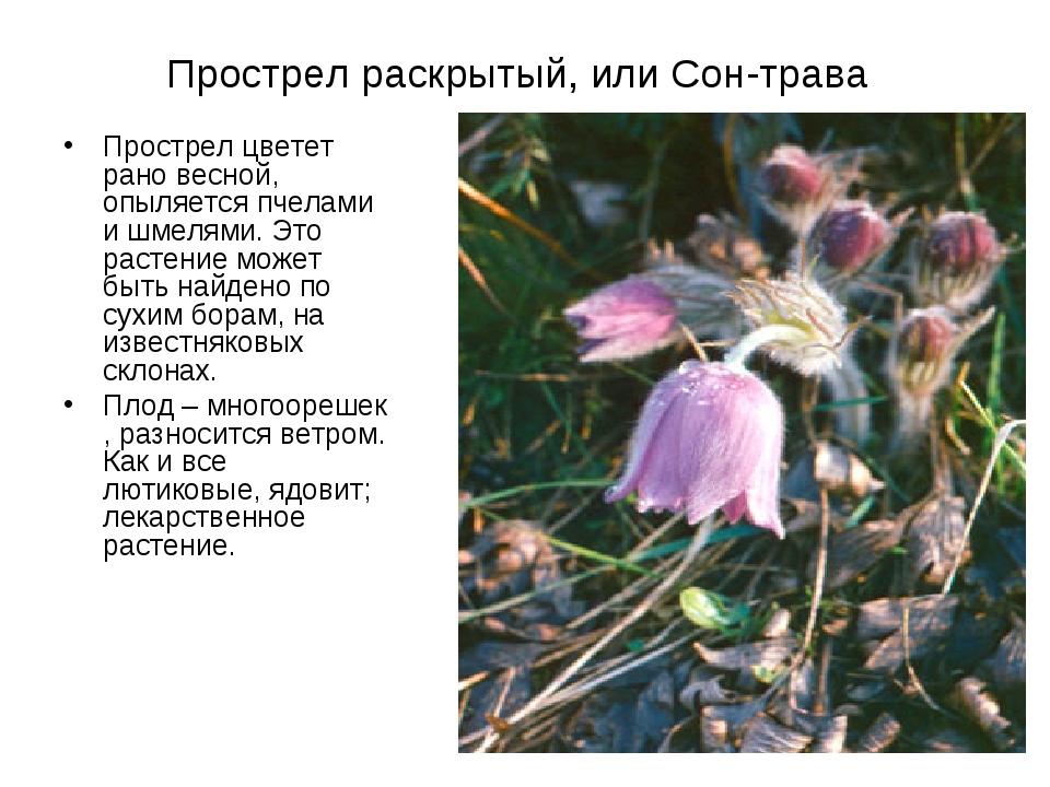 Прострел раскрытый, или Сон-трава Прострел цветет рано весной, опыляется пчел...