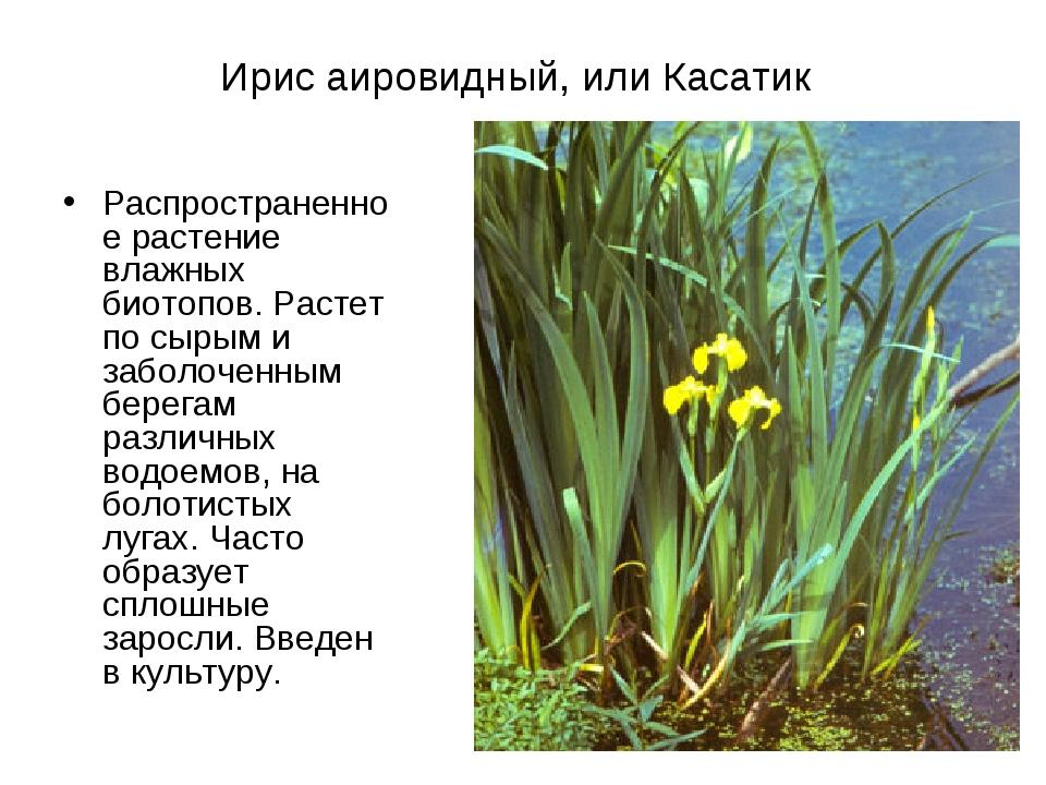 Ирис аировидный, или Касатик Распространенное растение влажных биотопов. Раст...