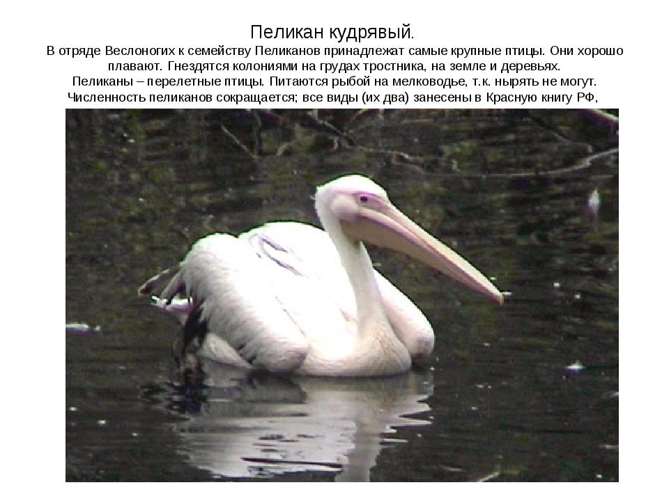 Пеликан кудрявый. В отряде Веслоногих к семейству Пеликанов принадлежат самые...