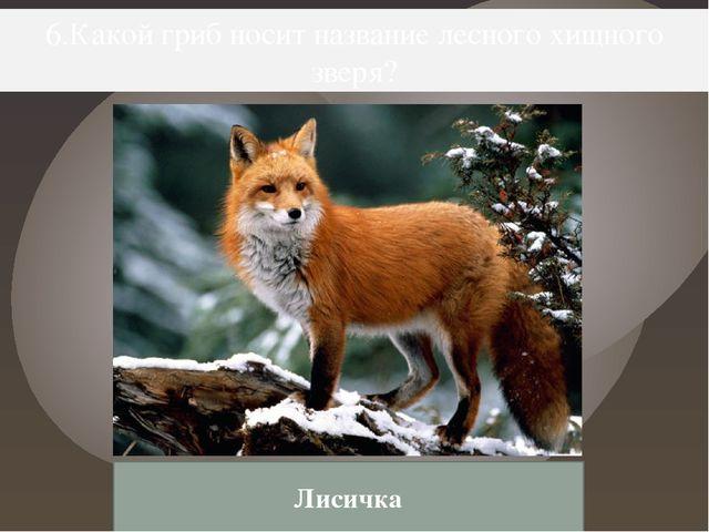 6.Какой гриб носит название лесного хищного зверя? Лисичка