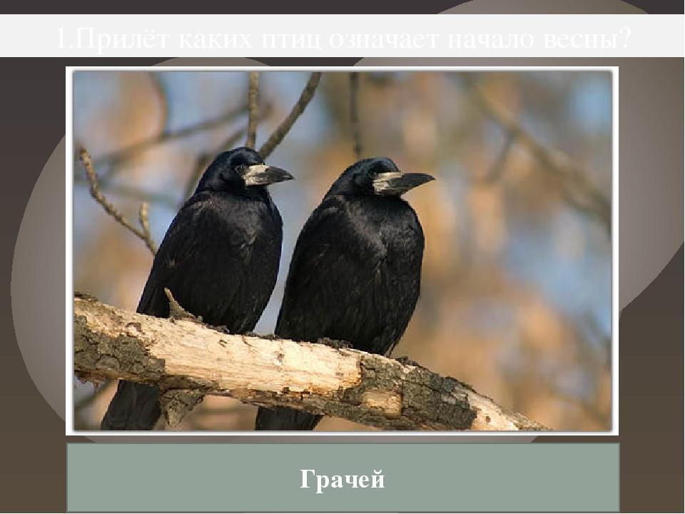 1.Прилёт каких птиц означает начало весны? Грачей