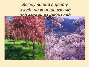 Всюду вишня в цвету и куда не кинешь взгляд под весенним небом сад