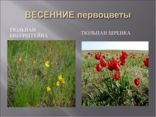 ТЮЛЬПАН БИБЕРШТЕЙНА ТЮЛЬПАН ШРЕНКА