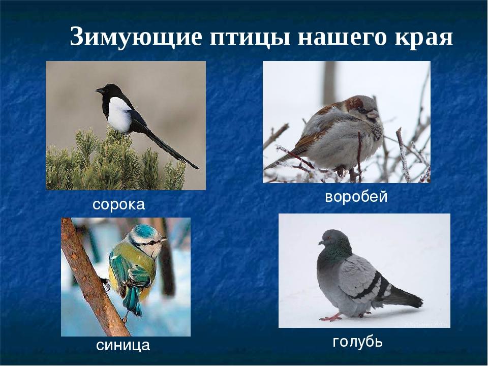 Зимующие птицы нашего края воробей сорока голубь синица