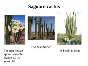 Saguaro cactus Its height is 16 m. The first flowers appear when the plant is