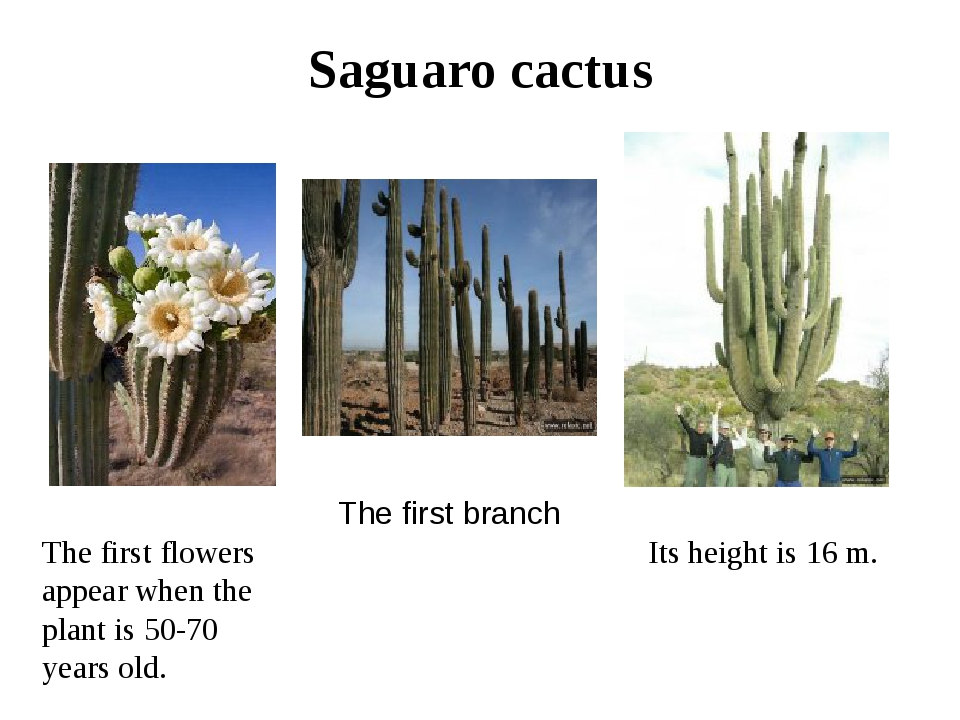 Saguaro cactus Its height is 16 m. The first flowers appear when the plant is...