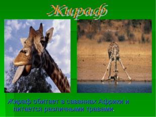 Жираф обитает в саваннах Африки и питается различными травами.