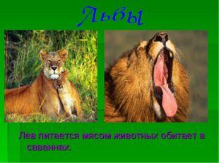 Лев питается мясом животных обитает в саваннах.