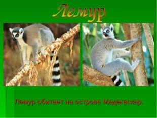 Лемур обитает на острове Мадагаскар.