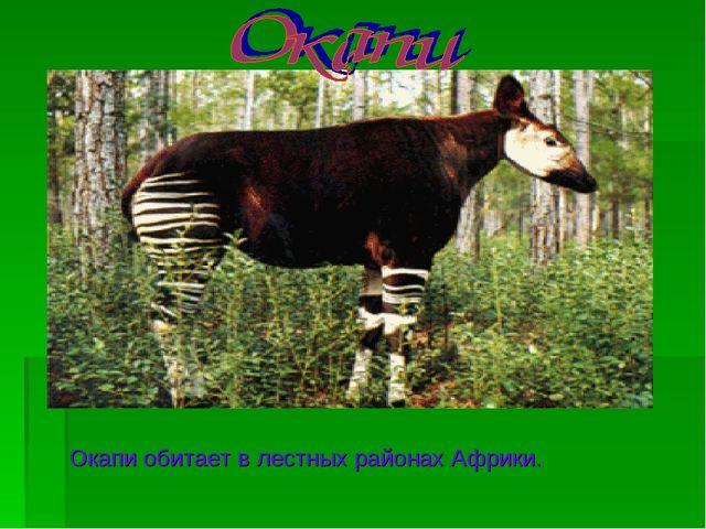Окапи обитает в лестных районах Африки.
